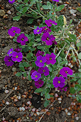 Royal Violet Rock Cress (Aubrieta 'Royal Violet') at Alsip Home and Nursery