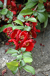 Crimson and Gold Flowering Quince (Chaenomeles x superba 'Crimson and Gold') at Alsip Home and Nursery