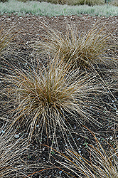 Olive Autumn Sedge (Carex dipsacea 'Olive') at Alsip Home and Nursery