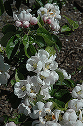 Spartan Apple (Malus 'Spartan') at Alsip Home and Nursery