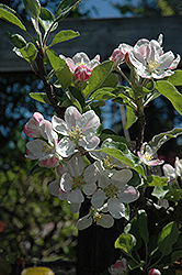 Gordon Apple (Malus 'Gordon') at Alsip Home and Nursery
