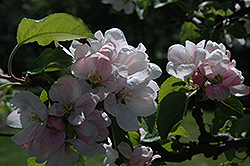 Elstar Apple (Malus 'Elstar') at Alsip Home and Nursery