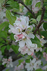 Liberty Apple (Malus 'Liberty') at Alsip Home and Nursery