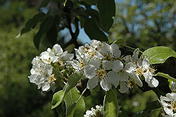 Highland Pear (Pyrus communis 'Highland') at Alsip Home and Nursery