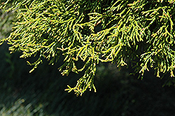 Coralliformis Dwarf Hinoki Falsecypress (Chamaecyparis obtusa 'Coralliformis') at Alsip Home and Nursery