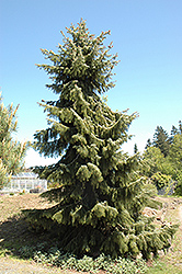 Brewer's Weeping Spruce (Picea breweriana) at Alsip Home and Nursery