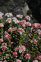 Sand Myrtle (Kalmia buxifolia) at Alsip Home and Nursery