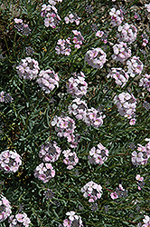 Fragrant Persian Stone Cress (Aethionema schistosum) at Alsip Home and Nursery
