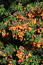 Dwarf Coral Hedge Barberry (Berberis x stenophylla 'Corallina Compacta') at Alsip Home and Nursery