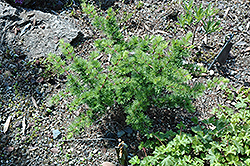 Little Bogle Dwarf Larch (Larix decidua 'Little Bogle') at Alsip Home and Nursery