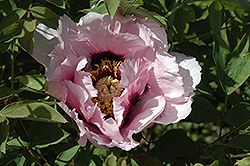 Rock's Tree Peony (Paeonia rockii) at Alsip Home and Nursery