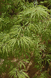 Filigree Green Lace Japanese Maple (Acer palmatum 'Filigree Green Lace') at Alsip Home and Nursery