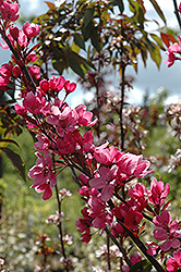 Show Time Flowering Crab (Malus 'Shotizam') at Alsip Home and Nursery