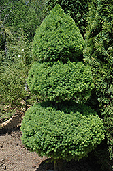 Dwarf Alberta Spruce (Picea glauca 'Conica (pom pom)') at Alsip Home and Nursery