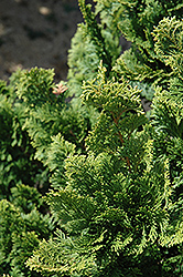 Well's Special Hinoki Falsecypress (Chamaecyparis obtusa 'Well's Special') at Alsip Home and Nursery