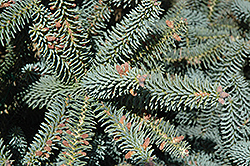 Blue Spanish Fir (Abies pinsapo 'Glauca') at Alsip Home and Nursery