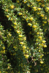 Wintergreen Barberry (Berberis julianae) at Alsip Home and Nursery
