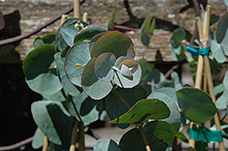 Silver Dollar Gum (Eucalyptus cinerea) at Alsip Home and Nursery