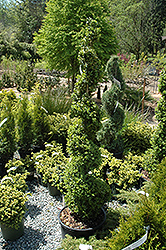 Common Boxwood (spiral) (Buxus sempervirens '(spiral)') at Alsip Home and Nursery