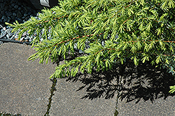 Copper Delight Juniper (Juniperus communis 'ReeDak') at Alsip Home and Nursery