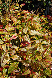 Nana Purpurea Nandina (Nandina domestica 'Nana Purpurea') at Alsip Home and Nursery
