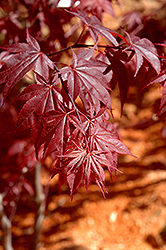 Glowing Embers Japanese Maple (Acer palmatum 'Glowing Embers') at Alsip Home and Nursery