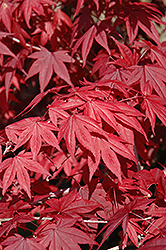 Emperor I Japanese Maple (Acer palmatum 'Wolff') at Alsip Home and Nursery