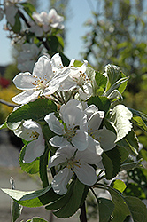 Cortland Apple (Malus 'Cortland') at Alsip Home and Nursery