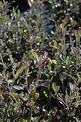 Bronze King Corokia (Corokia x virgata 'Bronze King') at Alsip Home and Nursery