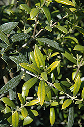 Arbequina European Olive (Olea europaea 'Arbequina') at Alsip Home and Nursery