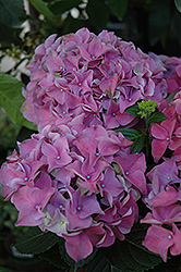 Early Blue Hydrangea (Hydrangea macrophylla 'Early Blue') at Alsip Home and Nursery