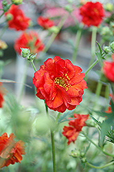 Blazing Sunset Avens (Geum 'Blazing Sunset') at Alsip Home and Nursery
