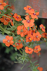 Wildcat Orange Anagallis (Anagallis 'Wildcat Orange') at Alsip Home and Nursery
