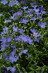 Riviera Sky Blue Lobelia (Lobelia erinus 'Riviera Sky Blue') at Alsip Home and Nursery