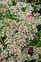 Easter Bonnet Peach Alyssum (Lobularia maritima 'Easter Bonnet Peach') at Alsip Home and Nursery