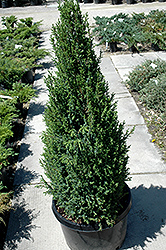 Sentinel Juniper (Juniperus communis 'Sentinel') at Alsip Home and Nursery