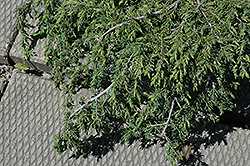 Corielagan Juniper (Juniperus communis 'Corielagan') at Alsip Home and Nursery