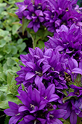 Purple Pixie Clustered Bellflower (Campanula glomerata 'Purple Pixie') at Alsip Home and Nursery