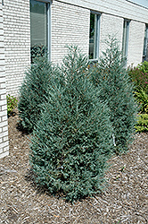 Sky High™ Juniper (Juniperus scopulorum 'Bailigh') at Alsip Home and Nursery