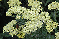 Anthea Yarrow (Achillea 'Anthea') at Alsip Home and Nursery