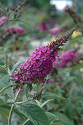Miss Ruby Butterfly Bush (Buddleia davidii 'Miss Ruby') at Alsip Home and Nursery