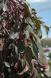 Ruby Tears™ Flowering Crab (Malus 'Bailears') at Alsip Home and Nursery