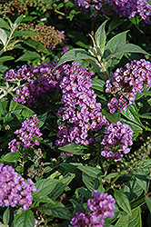 Lo And Behold® Purple Haze Dwarf Butterfly Bush (Buddleia 'Lo And Behold Purple Haze') at Alsip Home and Nursery