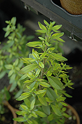 Mexican Oregano (Lippia graveolens) at Alsip Home and Nursery
