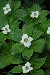 Bunchberry (Cornus canadensis) at Alsip Home and Nursery