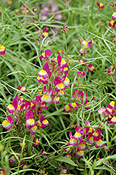 Enchantment Toadflax (Linaria 'Enchantment') at Alsip Home and Nursery