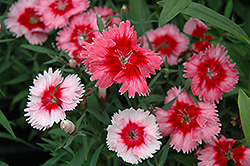 Super Parfait™ Strawberry Pinks (Dianthus 'Super Parfait Strawberry') at Alsip Home and Nursery