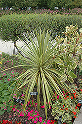 Torbay Dazzler Grass Palm (Cordyline australis 'Torbay Dazzler') at Alsip Home and Nursery