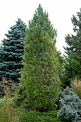 Columnar Swiss Stone Pine (Pinus cembra 'Stricta') at Alsip Home and Nursery