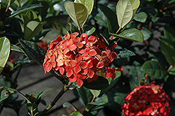 Maui Ixora (Ixora 'Maui') at Alsip Home and Nursery